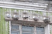 Kittiwakes nest on a window - Sptizberg