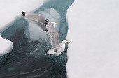Kittiwakes capturing a Polar cod - Sptizberg