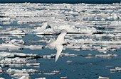 Ivory gull in flight over the ice - Spitsbergen