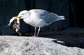 Glaucous gull eating a young Guillemot - Spitsbergen