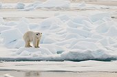 Polar bear male on ice - Northern Spitsbergen ; pressure ridge in first-year ice
