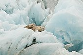 Polar bear and young resting on an iceberg - Spitsbergen