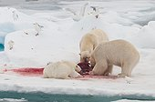 Polar bear eating a bearded seal - Spitsbergen