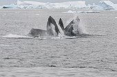 Humpback whales feeding on Capelin - Greenland