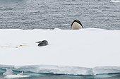 Orca watching a Leopard Seal - Antarctic Peninsula