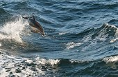 Dusky Dolphin surfing - Beagle Channel Argentina