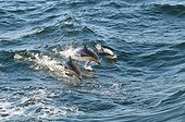 Dusky Dolphins surfing - Beagle Channel Argentina
