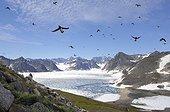 Flight Little Auks - Kap Hoegh Greenland ; Back to the colony