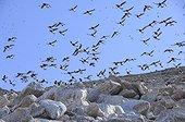 Little Auks in flight - Kap Hoegh Greenland