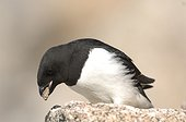 Little Auk on rock - Kap Hoegh Greenland ; bringing a stone to the nest