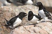 Little Auks on rock - Kap Hoegh Greenland