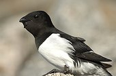 Little Auk feeding - Cape Hoegh Greenland ; Auk with his gular bag full of plankton for its chick