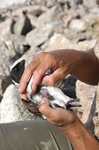 Identification of the brood patch a Little Auk - Greenland