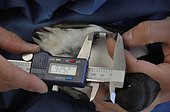 Measurement of the paw of a Little Auk - Greenland ; Measuring tarsus