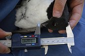 Measurement of the head of a Little Auk - Greenland