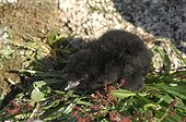 Newborn chick Little Auk - Greenland  ; tooth of the egg visible at the tip of the beak