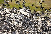 Little Auks in flight above the colony - Greenland