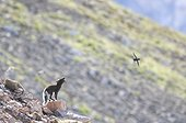 Arctic fox screaming in a colony Little Auks - Greenland