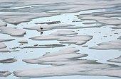 Eider à duvet sur la banquise en été - Groenland
