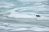 Arctic fox on the ice in summer - Greenland
