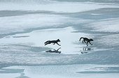 Arctic foxes running on the ice in summer - Greenland
