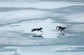 Renards arctiques sur la banquise en été - Groenland