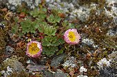 Arctic buttercup flowers on the tundra - Greenland