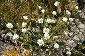 Arctic mouse-ear flowers on the tundra - Greenland