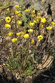 Hooker's Cinquefoil flowers on the tundra - Greenland