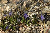 Arctic Bellflowers on the tundra - Greenland