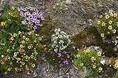 Silenus and Saxifrage flowers in tundra - Greenland