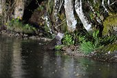 Eurasian otter at the edge of the water - Limousin France