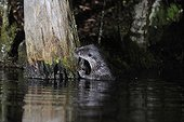 Eurasian otter in water - Limousin France ; Otter sniffing a marking point