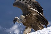 Griffon vulture in snow - Pyrenees Spain