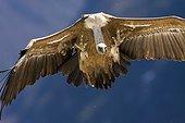 Griffon vulture in flight - Pyrenees Spain