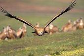 Griffon vulture in flight - Alcudia Valley Spain