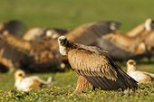 Griffon vulture on ground - Alcudia Valley Spain