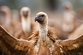 Portrait of Griffon vulture - Alcudia Valley Spain