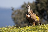 Griffon vulture with tag - Alcudia Valley Spain