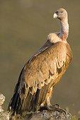 Griffon vulture on ground - Rio Dulce Spain