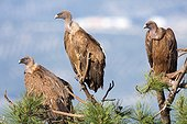 Griffon vultures on branches - 	Sierra de Cazorla Spain