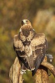 Booted eagle with prey on a branch - Avila Spain