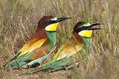 European Bee-eaters on ground - Spain