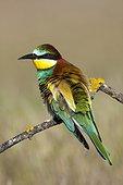European Bee-eater on branch - Spain