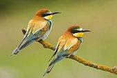 European Bee-eaters on branch - Spain