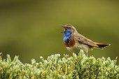 Bluethroat singing on bush - Sierra de Gredos Spain