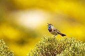 Bluethroat singing on bush - Avila Spain