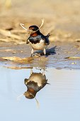 Barn Swallow collecting mud for its nest - Cadiz Spain