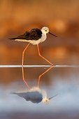 Black-winged Stilt and its reflection - Ciudad Real Spain