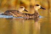 Marbled Ducks on water - Brazo del Este Spain